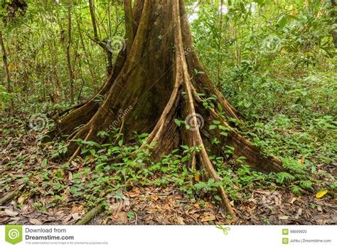 Buttress Tree Roots In Rainforest Stock Photo - Image of