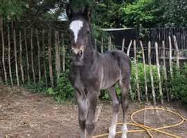 Horses and Ponies For Sale | Buy and Sell Equestrians in