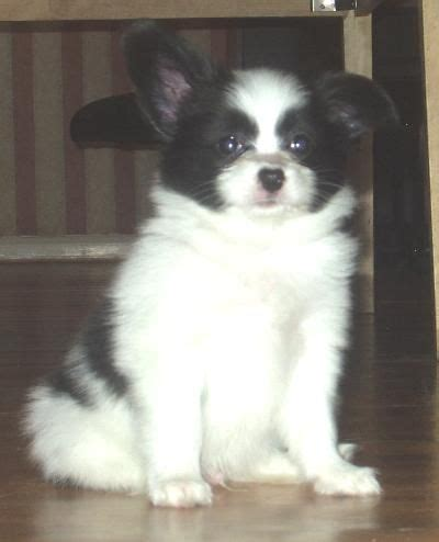 Pomeranian Puppies For Sale Nsw Sydney - Pets Lovers