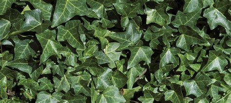 English ivy: what a creep!   Forterra
