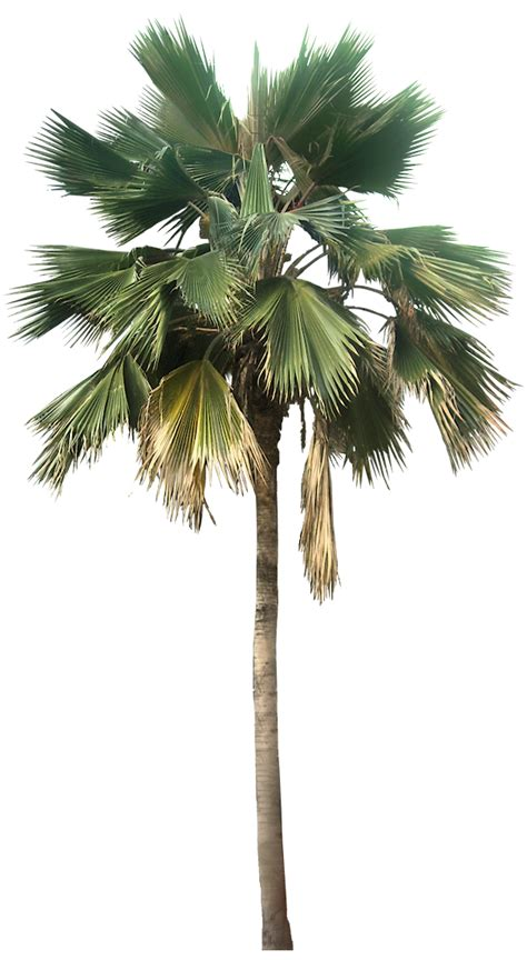 Transparent Palm Tree Great looking desert plants png