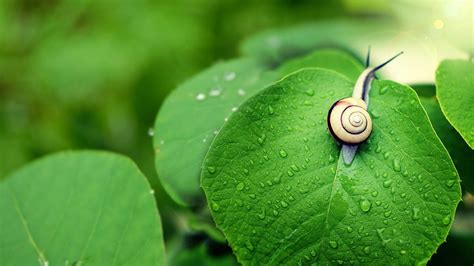 Rain on the green leaves of the snail-Animal Widescreen