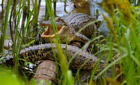 Best Time to See Alligators in Texas 2020 - When & Where