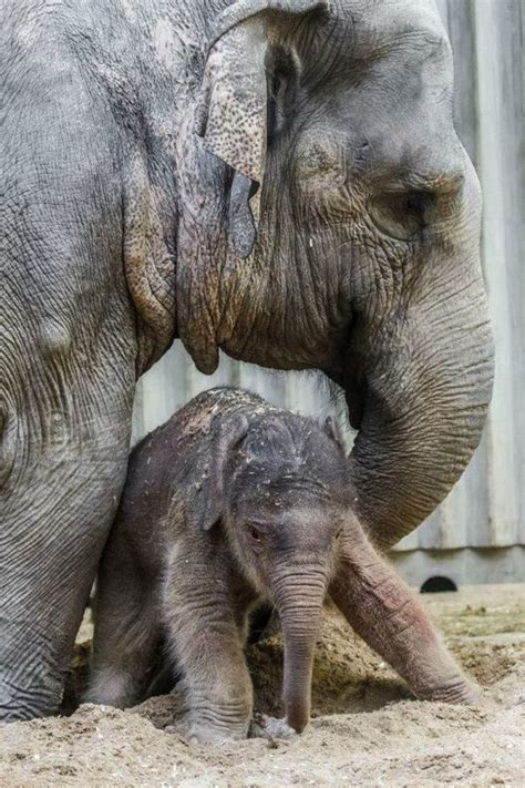 Baby Elephant Birth the First in Prague Zoo's History