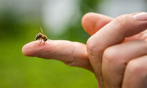 Why Do Honey Bees Sting People?