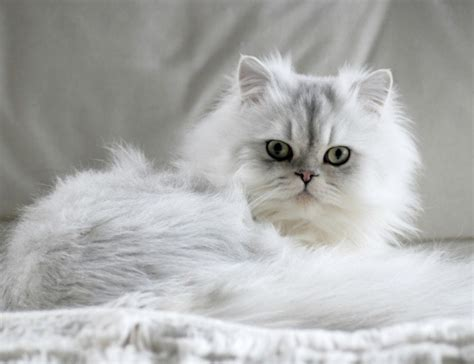 Chinchilla - Cat Breed Information and Profile | AdelaideVet