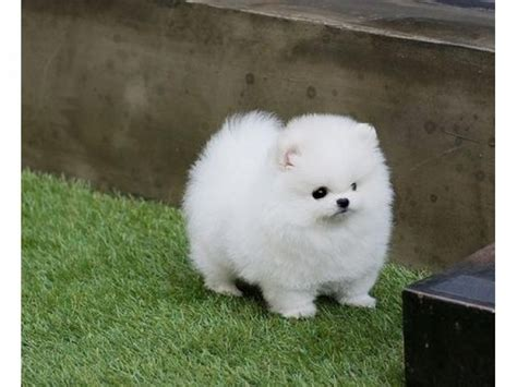 Micro Teacup Pomeranian Puppies available for adoption Offer