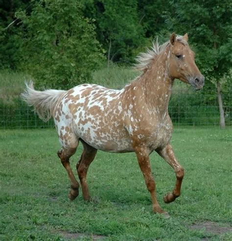 226 best Exquisite Equine - Appaloosa images on Pinterest