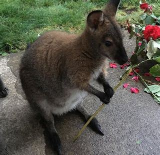 Bennetts Wallaby For Free   Wallaby for sale usa   Cute