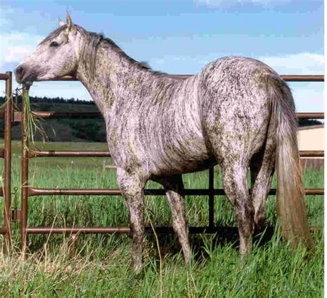 Brindle horse || This is often caused by chimerism but