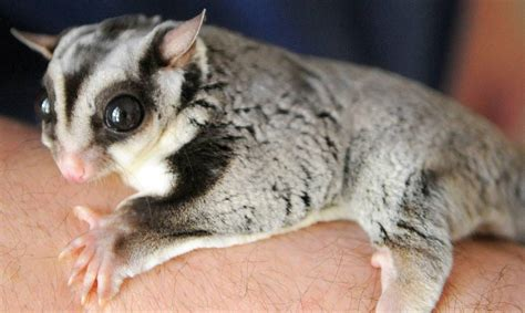 Sugar Gliders - Main Reasons Why Your Gliders Are Dying