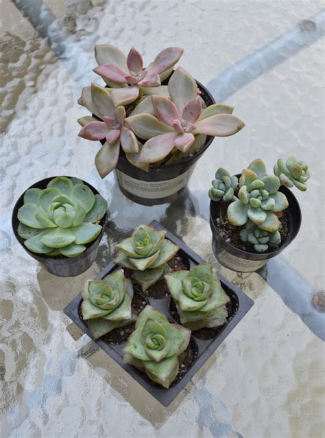 How To: Succulents In Chalk Paint Pots - Classy Yet Trendy