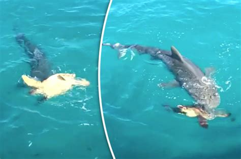 Animal attack video: Shark battles turtle in the water