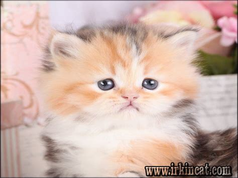 Lies You've Been Told About Persian Kittens For Sale Near